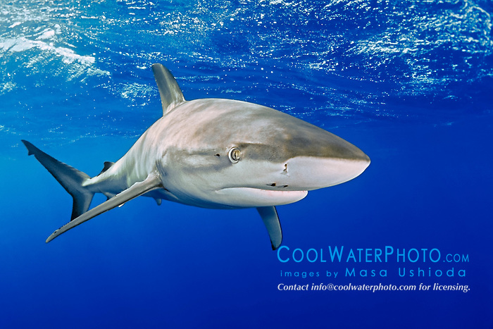 Galapagos shark, Carcharhinus galapagensis, with parasitic copepod, North Shore, Oahu, Hawaii, USA, Pacific Ocean