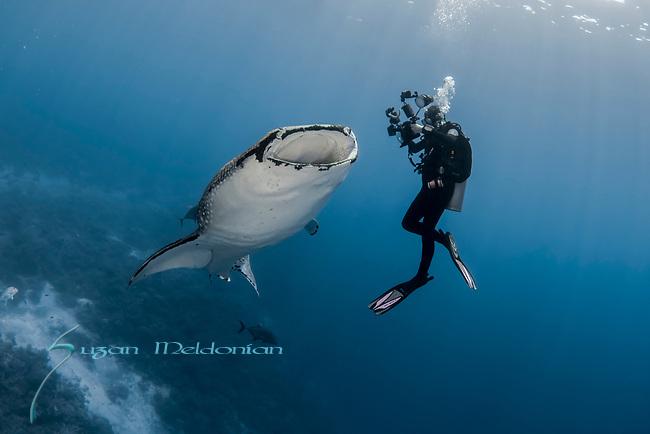 Baby Whale Shark, Rhincodon typus, with uw photographer, Tubbataha, Palawan, Philippines, Wide angle, large shark