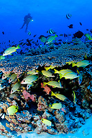 reef fish and table coral, French Frigate Shoals, Papahanaumokuakea Marine National Monument, Northwestern Hawaiian Islands, Hawaii, USA, Pacific Ocean