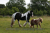 Bob, ANIMALS, REALISTISCHE TIERE, ANIMALES REALISTICOS, horses, photos+++++,GBLA4418,#a#, EVERYDAY