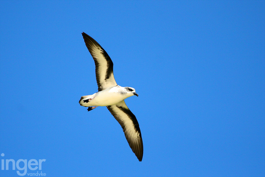 Black-winged Petrel in Flight at Lord Howe Island