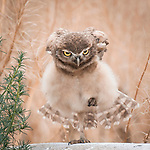Pictured: An owl gives a photographer an evil stare as it is caught pulling yoga poses.    The burrowing owl, with its wings outstretched and head bowed, locks its vivid yellow eyes on the camera.<br /> <br /> It appears to be doing yoga as it balances on one leg.  Photographer David Yang pictured the burrowing owl in wild grassland near Ontario Airport, USA.   SEE OUR COPY FOR DETAILS<br /> <br /> Please byline: David Yang/Solent News<br /> <br /> © David Yang/Solent News & Photo Agency<br /> UK +44 (0) 2380 458800