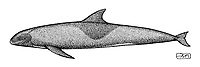 Melon-headed whale, Peponocephala electra, lateral view, pen and ink illustration.