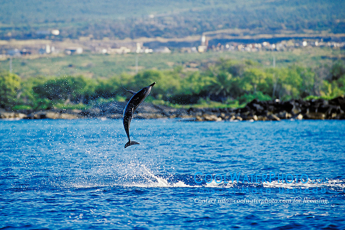 Long-snouted Spinner Dolphin calf, Stenella longirostris, leaping, Kona, Big Island, Hawaii, Pacific Ocean