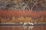 Sandhill cranes, Bosque Del Apache National Wildlife Refuge, New Mexico