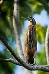 Bare-throated Tiger Heron (Tigrisoma mexicanum), Osa Peninsula, Costa Rica