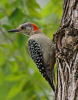 Adult female red-bellied woodpecker