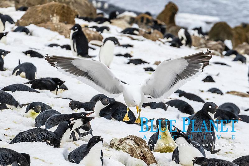 Adult kelp gull, Larus dominicanus, with stolen Adelie penguin egg, Pygoscelis adeliae, in its bill at Brown Bluff, Antarctic Peninsula, Antarctica, Southern Ocean