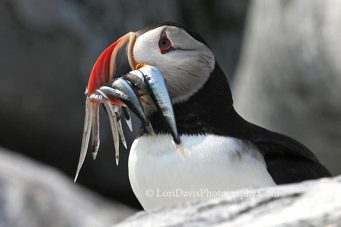 Atlantic Puffin with Beak Full of Fish & Sand Eels  #P9