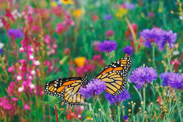 Two monarch butterflies rest for a moment in a garden of flowers.  (Danaus Plexippus)