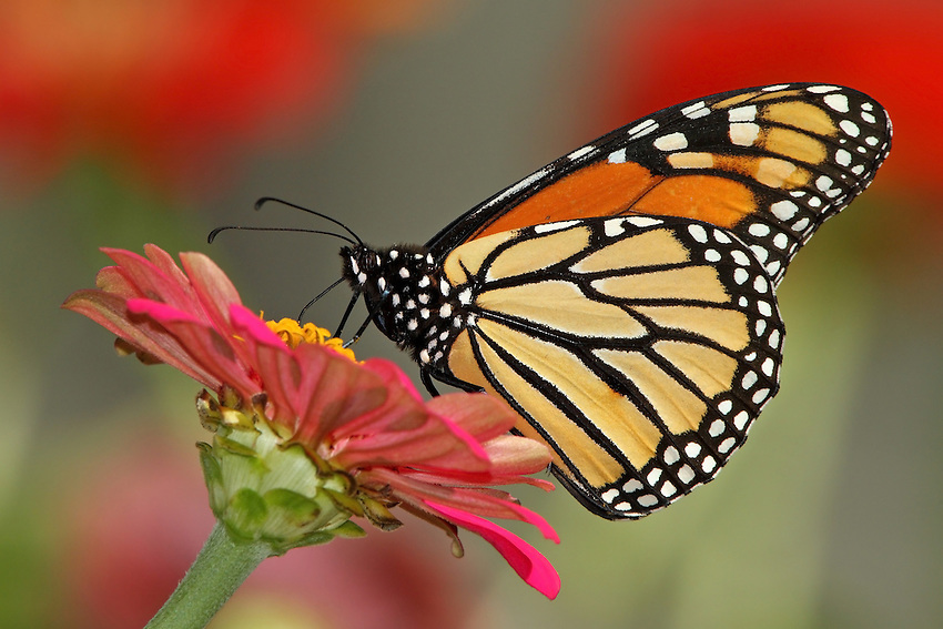 The Monarch butterfly is one the most readily recognized and beloved insects in North America.