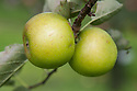 Apple 'Golden Pippin', mid September. A very old heritage English dessert apple dating back to the 17th century. Exact origin unknown, though it is claimed to have come from Parham Park, near Arundel, West Sussex.