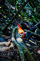 A colorful rooster perched on a fallen tree