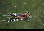 Wood Duck, Non-Breeding Male, Drake, Franklin Canyon, Southern California