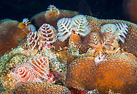 25 January 2016: A grouping of Christmas Tree Worms (Spirobranchus giganteus) grow on a coral patch at Captain Don's Habitat in Bonaire. Bonaire is known for its pioneering role in the preservation of the marine environment. A part of the Netherland Caribbean Islands, Bonaire is located off the coast of Venezuela and offers excellent scuba diving, snorkeling and windsurfing.  Mandatory Credit: Ed Wolfstein Photo *** RAW (NEF) Image File Available ***