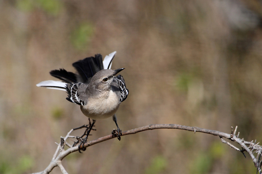 The Northern Mockingbird enjoys making its presence known. It usually sits conspicuously on high vegetation, fences, eaves, or telephone wires, or runs and hops along the ground..