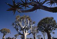 Natura in Namibia: Quiver Tree Forest, Aloe dichotoma monumento nazionale Unesco