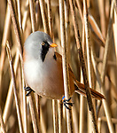 Photographs show agile birds doing the splits on reed stems.  This splayed leg pose allows the bearded reedlings to look out for potential predators, such as hawks, before eating reed seeds below.<br /> <br /> The photographs were taken by John Cobham at Leighton Moss Nature Reserve in Silverdale, Lancs.  The reserve is protected by the Royal Society for the Protection of Birds (RSPB).  SEE OUR COPY FOR DETAILS.<br /> <br /> Please byline: John Cobham/Solent News<br /> <br /> © John Cobham/Solent News & Photo Agency<br /> UK +44 (0) 2380 458800