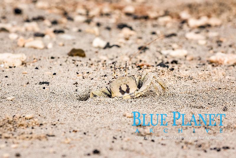 horned ghost crab, Ocypode ceratophthalmus, Chichi-jima, Bonin Islands, Ogasawara Islands, UNESCO Natural World Heritage Site,  Tokyo, Japan, Pacific Ocean