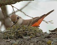 Female Vermillion Flycatcher nest building, South Llano River State Park, TX
