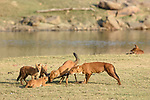 Indian Wild Dogs or Dhole (Cuon alpinus) with remains of younf spotted deer or chital. Pench National Park, Madhya Pradesh, India.