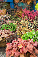 Heucheras variety mix in bloom in basket pot container garden, includes Rave On in flower, Ginger Ale, Strawberry Swirl, Pino Gris, Marmalade, Frosted Violet, Gypsy Dancer, Crimson Curls, Sashay, Southern Comfort in baskets, with some in bloom flowering, and Tiarella . Foamflower