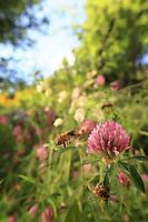 A bee gathering nectar from a thyme flower.///Butinage d'une abeille sur des fleurs de thym.