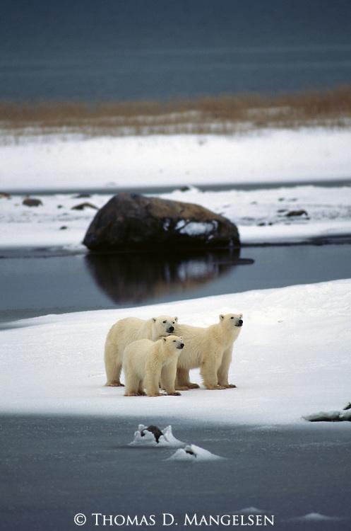 Three polar bears on the shore at the ice line.