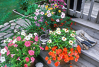 Deck steps with potted annuals Cuphea, zinnia, scaveloa, impatiens container garden