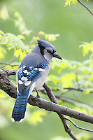 Blue Jay (Cyanocitta cristata bromia) in New York's Central Park