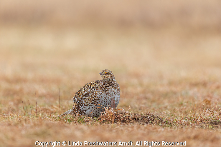 Sharp-tailed grouse on a lek in Namekagon Barrens.