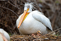 American White Pelican (Pelecanus erythrorhynchos) adult with chick on nest. Lake County, Oregon. April.