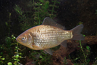 Giebel, Silberkarausche, Carassius auratus gibelio, Carassius gibelio, gibel carp, Prussian carp