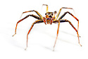 Jumping spider {Salticidae}  photographed on white background. Masoala Peninsula National Park, north east Madagascar.
