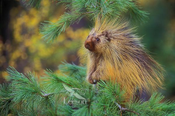 PORCUPINE in pine tree..Autumn. Rocky Mountains..(Erethizon dorsatum).