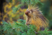PORCUPINE in pine tree..Autumn. Rocky Mountains..(Erethizon dorsatum).
