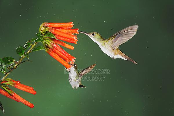 Booted Racket-tail(Ocreatus underwoodii),Andean Emerald ( Amazilia franciae),adults feeding on flower,Mindo, Ecuador, Andes, South America