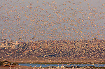 Tern Blastoff at Sunset, Bolsa Chica Wildlife Refuge, Southern California