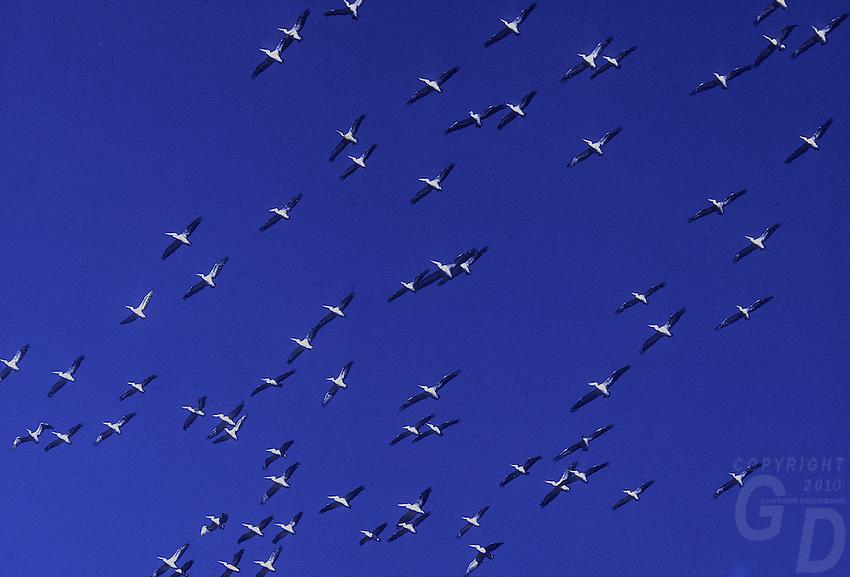 Pelicans in flight Australia