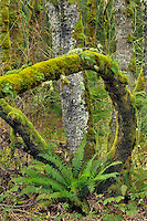 Sword fern framed by moss covered trees in the Wapato Greenway at Virginia Lake area on Sauvie Island, Oregon