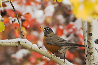 American Robin, Turdus migratorius, male in Aspen tree fallcolors, Grand Teton NP,Wyoming, September 2005