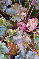 Heuchera Chocolate Ruffles with ruffled edges, purple and green foliage plant