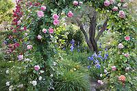 Pink climbing rose 'Eden' (aka 'Pierre de Ronsard') on arch trellis over path in country garden in California Napa country garden