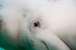beluga whale underwater close-up of eye