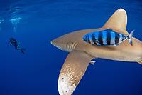 oceanic whitetip shark, Carcharhinus longimanus, approaches underwater photographer Masa Ushioda in the open ocean, Hawaii, ( Central Pacific Ocean ) (dm)