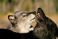 Two Gray Wolves (Canis lupus) greeting one another.