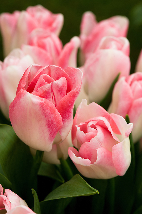 Tulip 'Akela' (Single Late Group). First introduced in 1980 by J.F. van den Berg & Sons