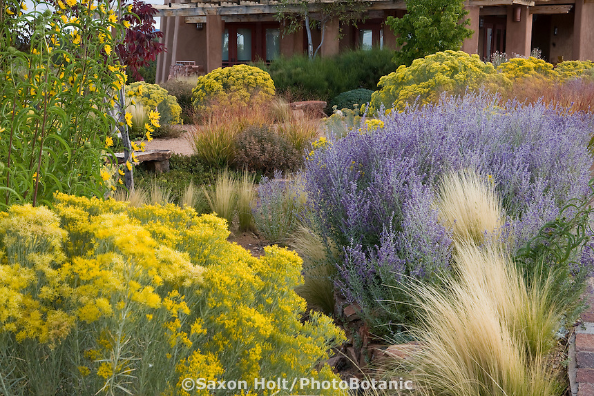 Perovskia atriplicifolia (Russian Sage) in drought tolerant Southwest grass meadow garden with Mexican feather grass (Nassella tenuissima) and Chamisa in Santa Fe New Mexico