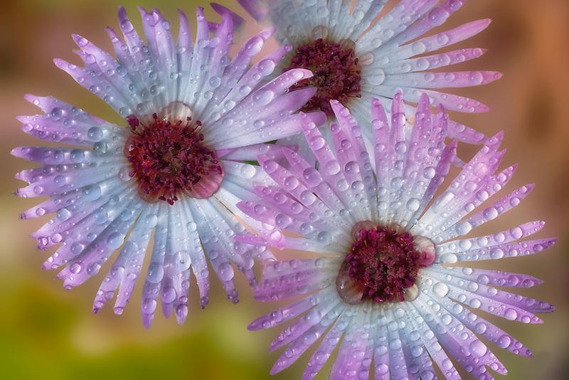 Close up of Livingstone Daisy with rain drops.