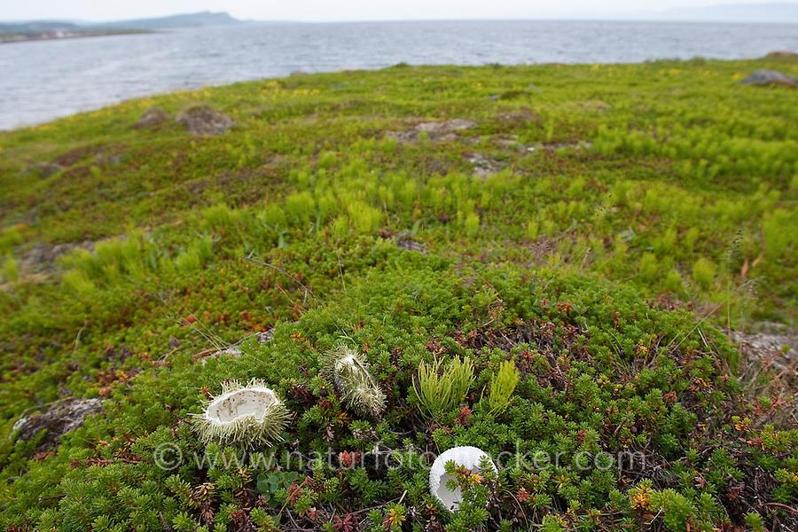 Möwe, Möwen haben Seeigel erbeutet und vom Meer ans Land getragen, um ihn hier zu fresen, übrig bleibt die Schale, Seeigel-Schale, Fraßspur, Gull, gulls and  have captured sea urchins, here remains the shell, sea urchin shell, feeding track